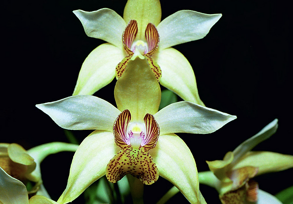 The Enga Dendrobium Orchid.png