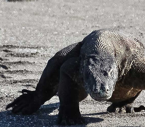 dragon Komodo - circuit florés Amanaska bali