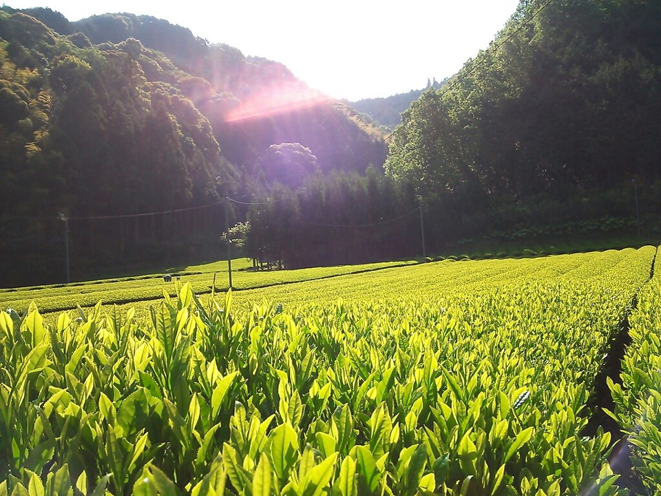Moriuchi Tea Farm  in  Sizuoka JAPAN