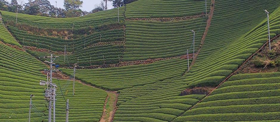 静岡の茶農家 新茶のご予約始めました😃