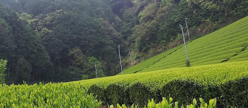 しっとり雨の茶畑をお届けします🍵