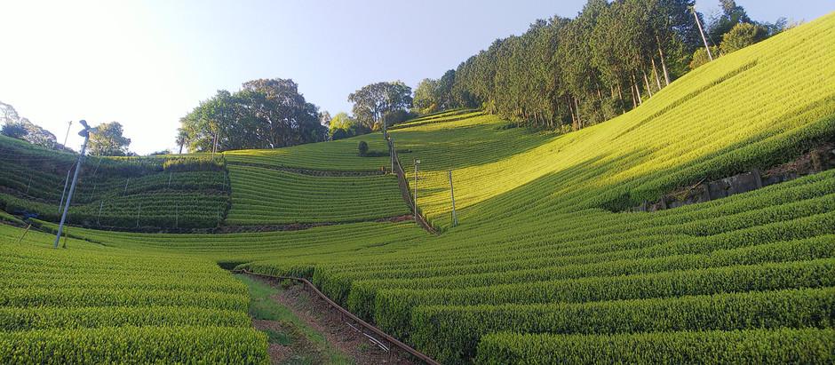 静岡🍃早朝の清々しい茶畑