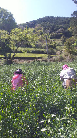 静岡 新茶の初摘みの様子です🍃