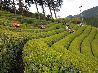 茶畑と茶工場