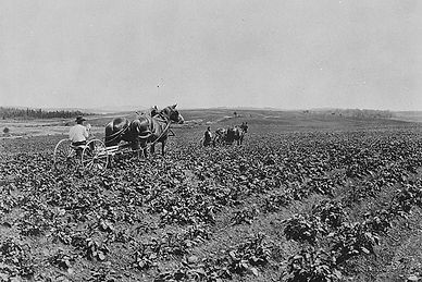 Cultivating-potatoes-Centreville-N.B..jp