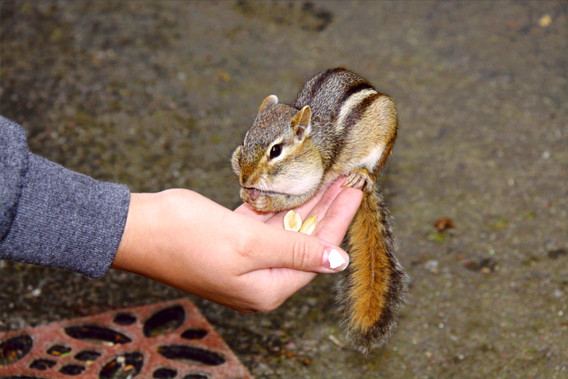 Feeding the Chipmunks