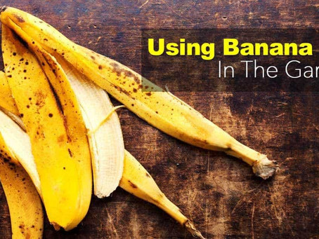 Banana Peels In The Garden – (12 How To Ideas And Uses)