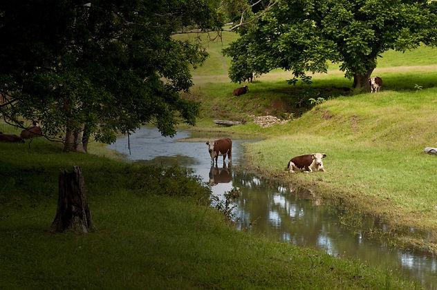 cowsdark.jpg