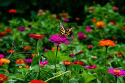 Swallowtail-Landing_6857