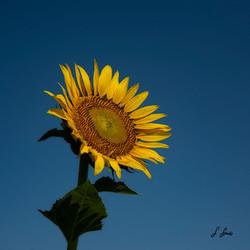 Splended-Sunflower-3-of-3_0648