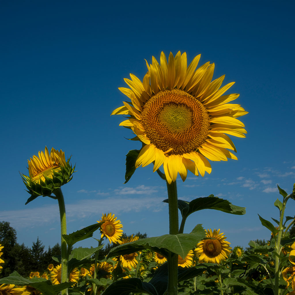 Splendid-Sunflower-1-of-3_0725