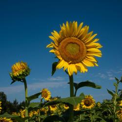 Splendid-Sunflower-1-of-3_0725