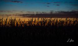 Harvest-Awaits_7246