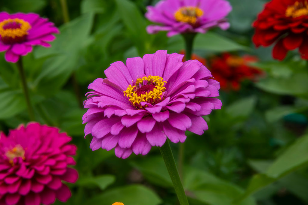 Brillant-Zinnia_4402