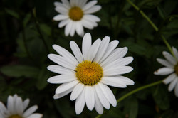 Fresh-Daisy_4490