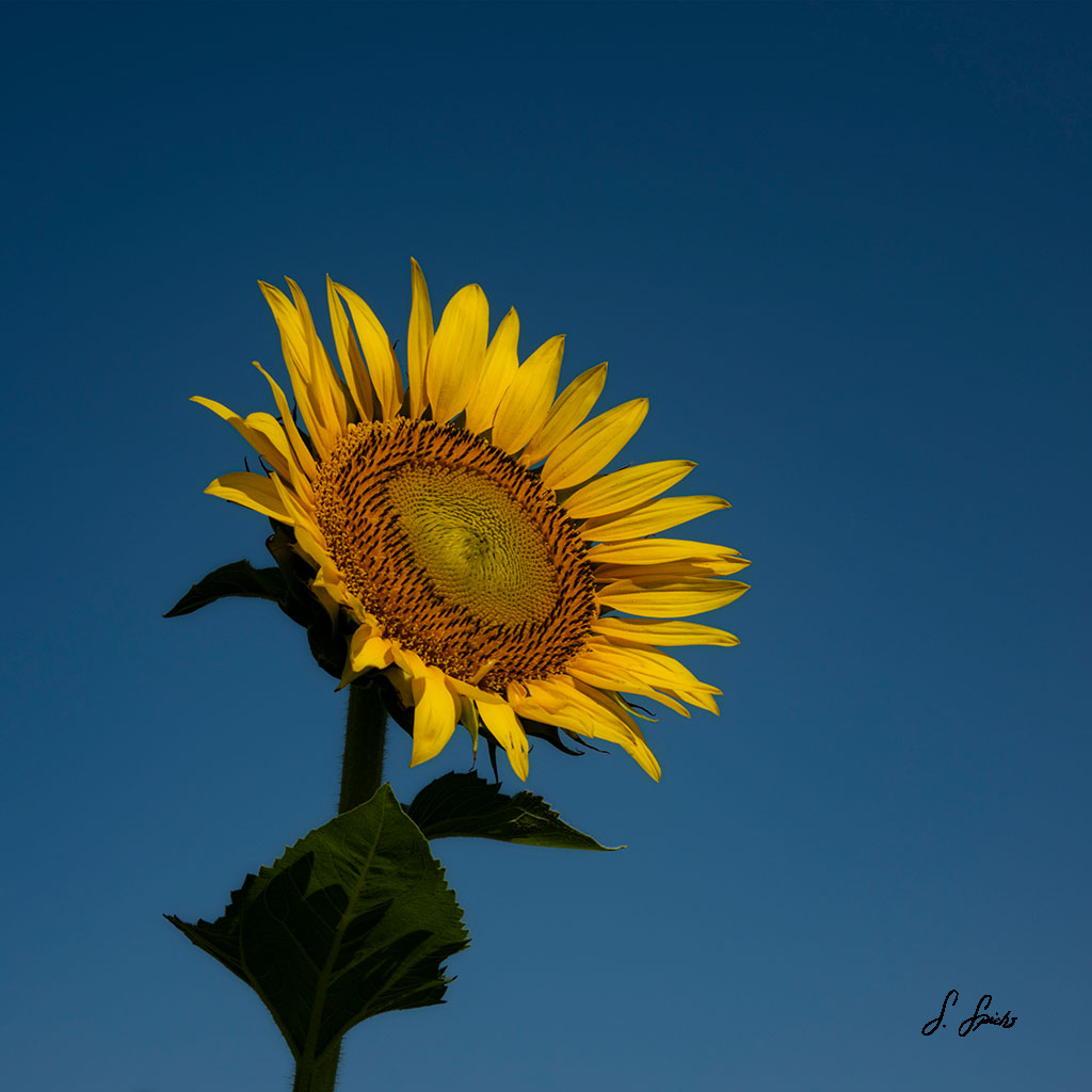 Splended-Sunflower-3-of-3_0648