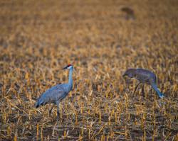 Watchful-Crane_9810