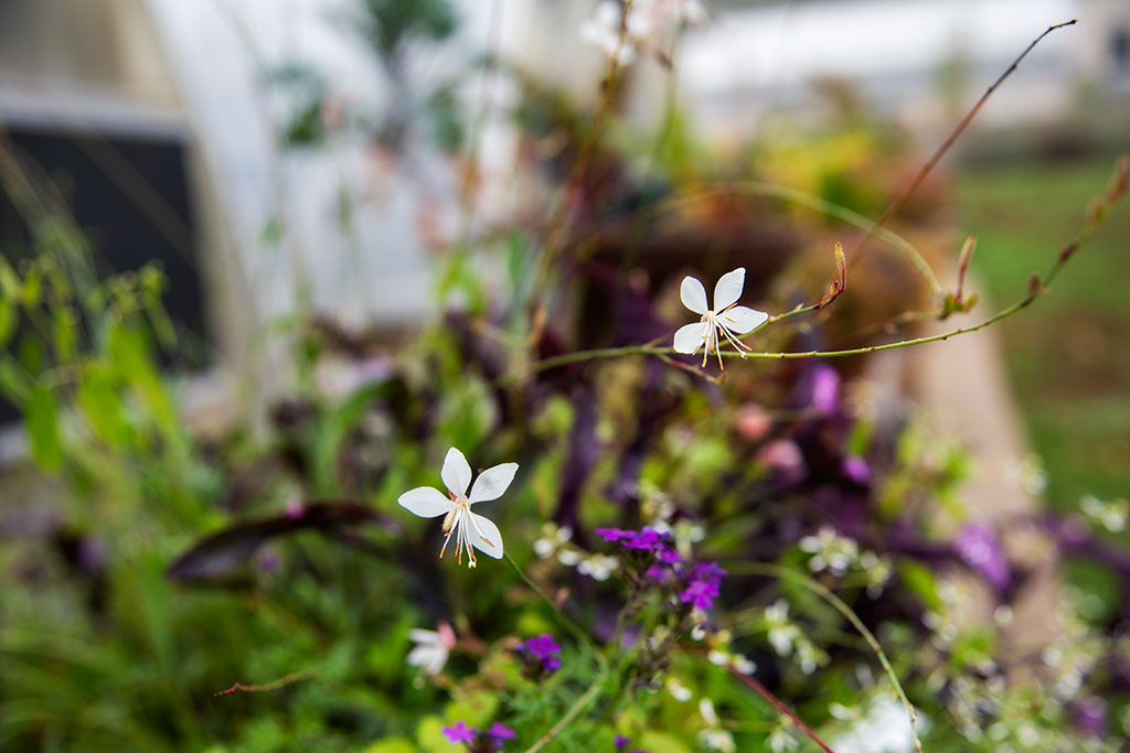 Shooting-Star-Amoung-Flowers_6506