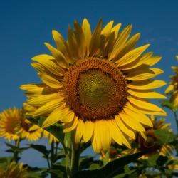 Splended-Sunflower-2-of-3_0808