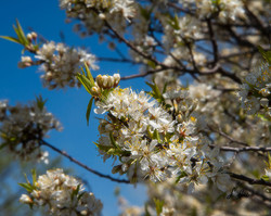 Blessed-Blossoms_5668