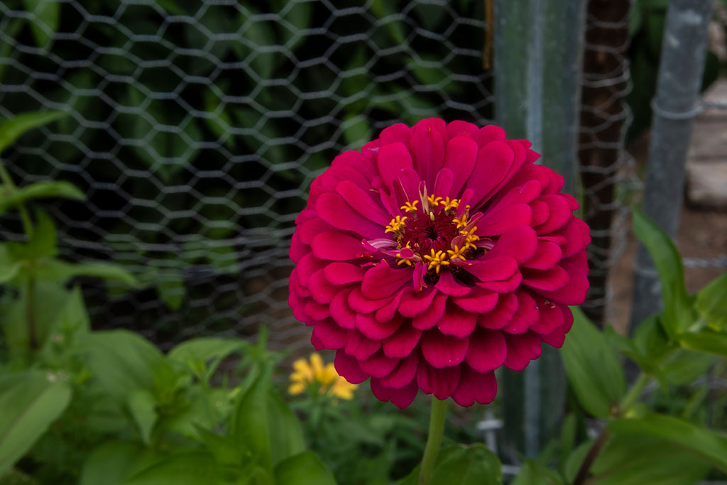 Brillant-Zinnia_4414