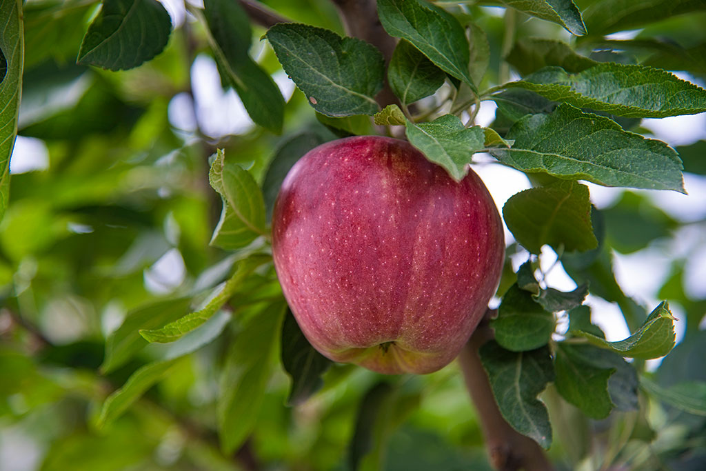 Apple-Of-My-Eye_6814