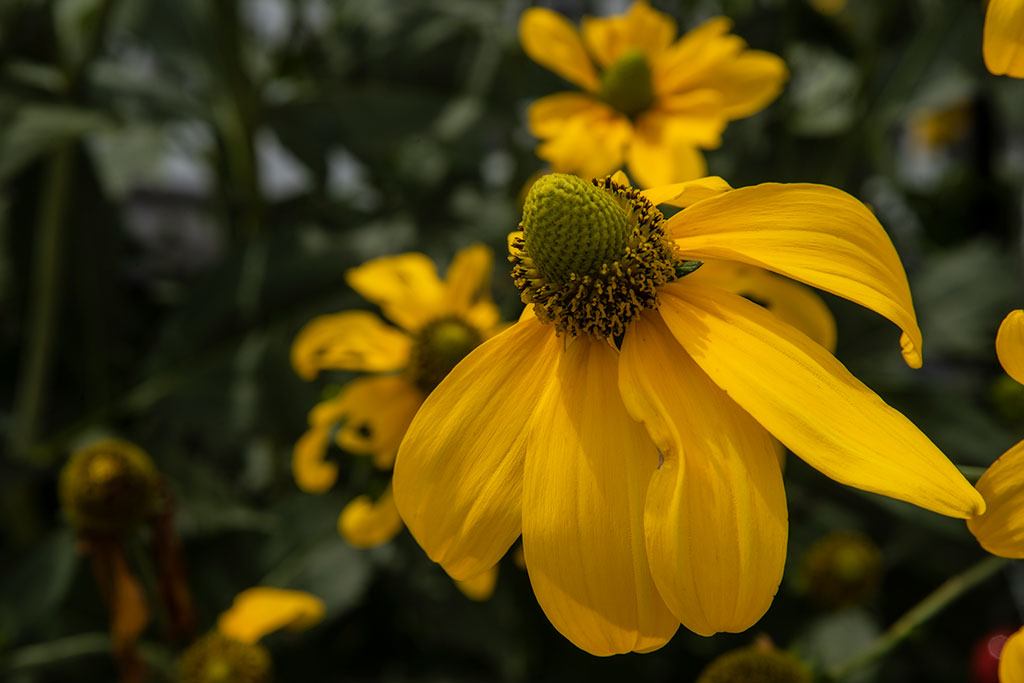 Yellow-Cone-Flower_4468