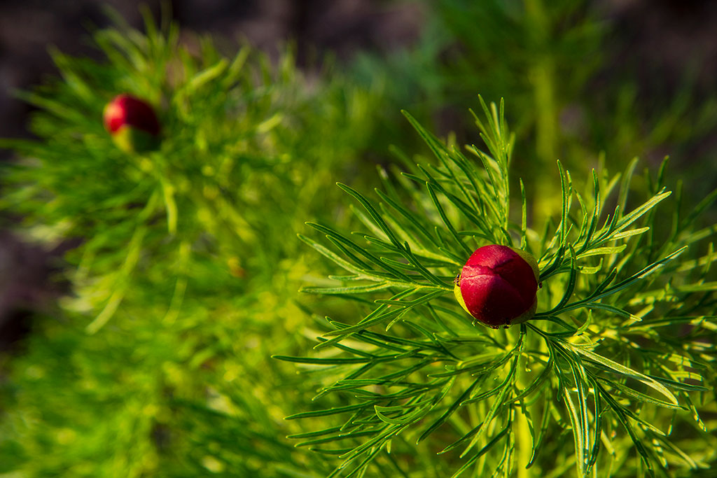 Red-Bulbs_6744