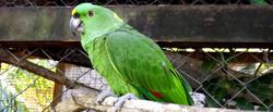 Island Parrot