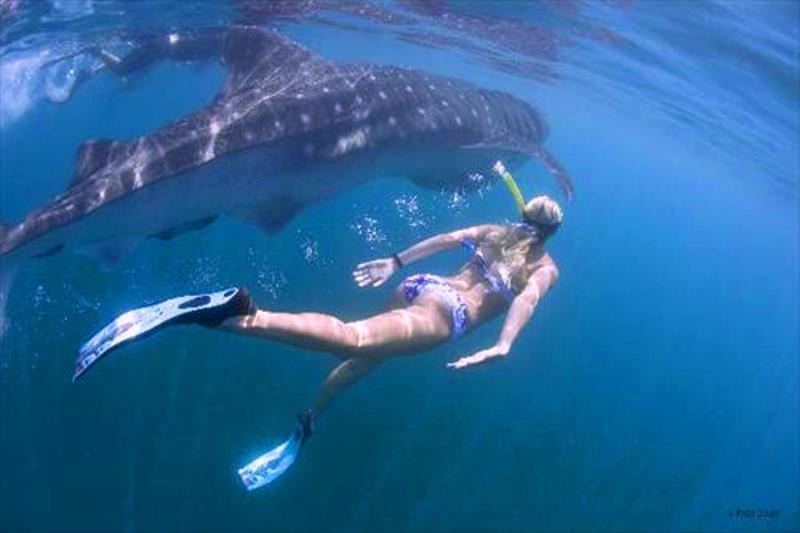 whale sharks roatan