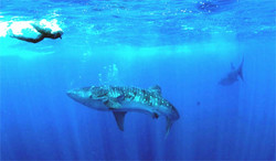 roatan whalesharks