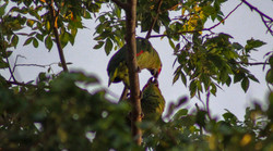 wild parrots above the house