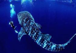 whalesharks utila