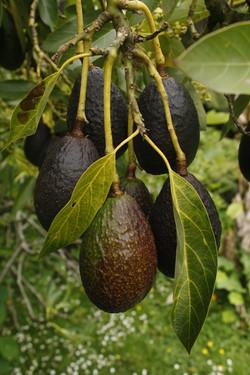 tree-branch-plant-fruit-ripe-food-636488-pxhere.com