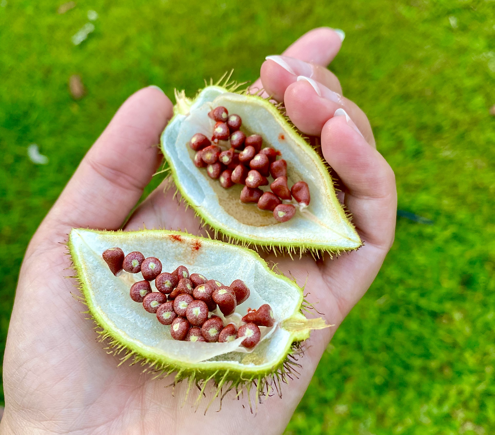 Seeds from the Achiote tree that make annato