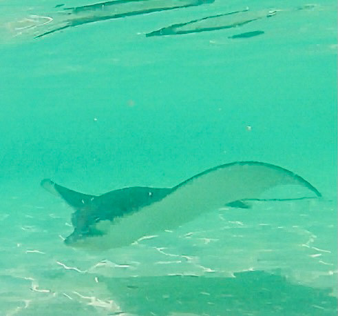 An eagle ray in Belize