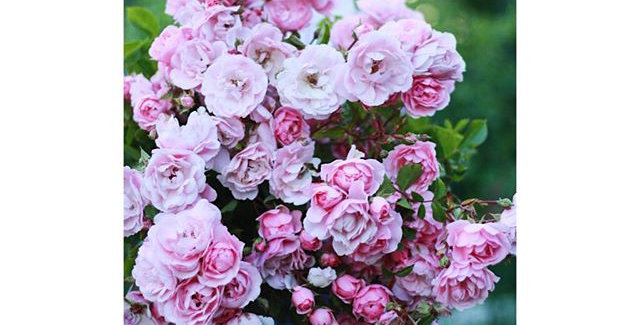 Bulk Blooms for DYI Brides (Specify Color)