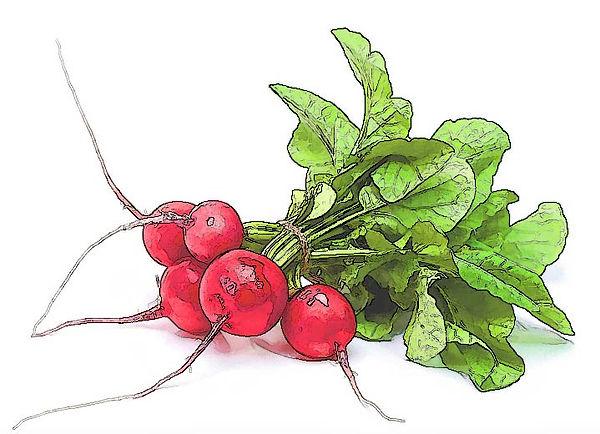 radishes.op.jpg