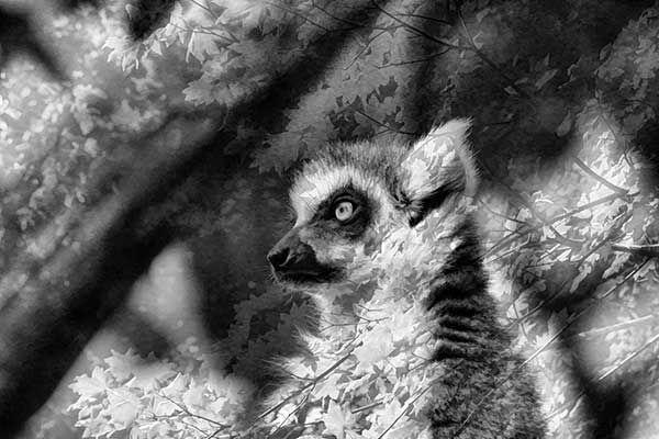 Lemur-composite.op.jpg