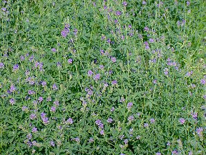 Alfalfa - It's Not Just For Horses