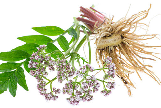 Valerian – The Sleep Herb