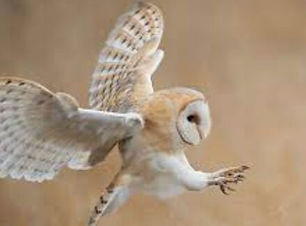 Dame Blanche or Barn Owl.jpg