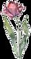тюльпан.png