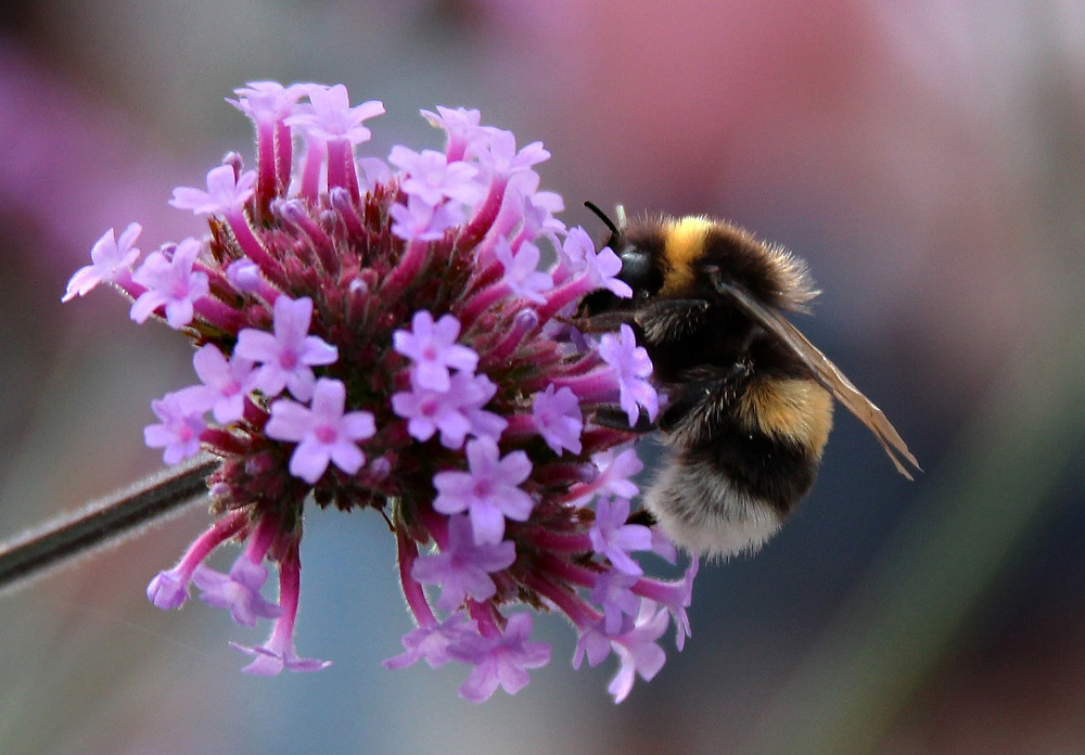 a beautiful bumble bee sitting on a mauve flower.