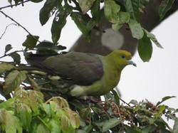 綠鳩.jpg