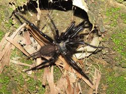 巨型上戶蜘蛛