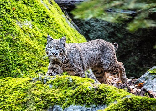 Bobcat on The Hunt