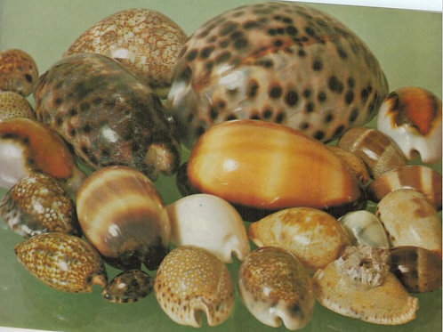The Art Of The Shell Through Study And Photography August 23