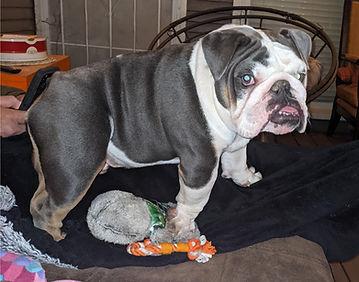 Norman%20bulldog_edited.jpg
