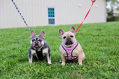 blue buddha black and tan french bull dogs